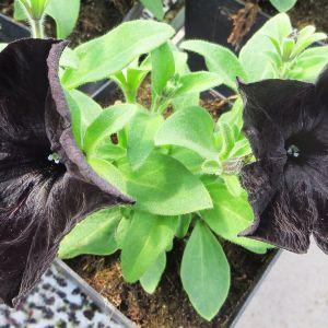 Musta petunia.