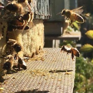 Mehiläisiä aamulennolla Laihialla.