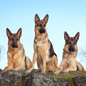 Kolme saksanpaimenkoiraa vierekkäin