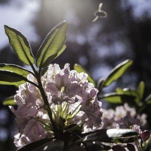 Etelä-Haagan rododendronpuisto.