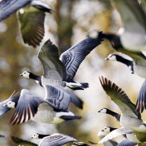 Valkoposkihanhiparvi lentää.