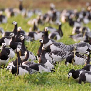 Valkoposkihanhiparvi kokoontuu ruohikolla.