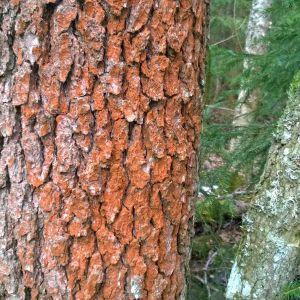 Uudella luonnonsuojelualueella Vöyrissä kasvaa tervaleppää.