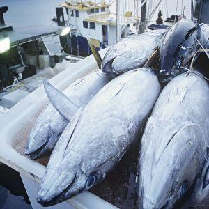Tonnikalasaalista australialaisen kalastusaluksen kannella.
