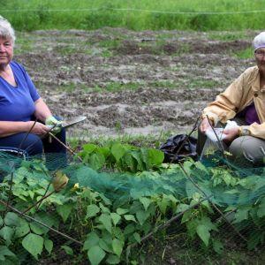 Kirsi Ongerin ja Eila Lyhdyn palstaa suojaa rusakkoverkko.