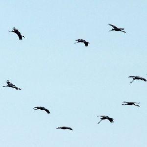 Hajallaan lentäviä kurkia taivaalla