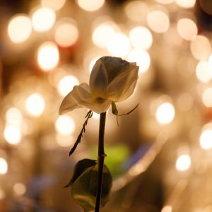 Yksittäinen ruusu muistokynttilöiden valossa.