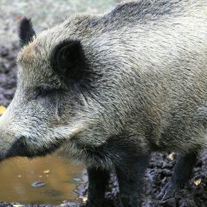 Villisika (Sus scrofa) Ähtärin eläinpuistossa.