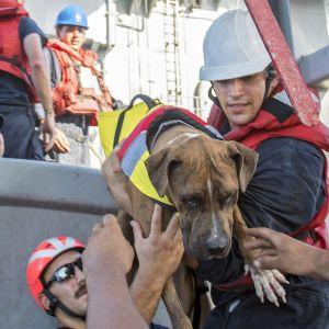 koiraa nostetaan laivaan
