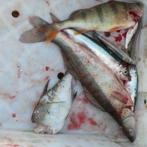 kalaa laatikossa, hylkeen puraisema lahna