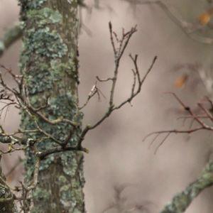 Kauluskaija eli aleksanterinkaija. Muita nimityksiä ovat kaulanauhapapukaija, kaulanauhaparakiitti ja sepelpapukaija.