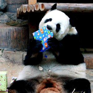 Jättepandan Lin Hui i Chiang Mais zoo i norra Thailand öppnar sin nyårsgåva.