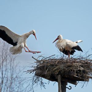 Vita storkar häckar i Koskis våren 2015