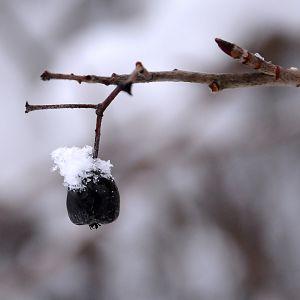 Snötopp på ett bär.