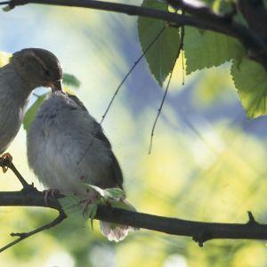 Gråsparvar sköter om varandra