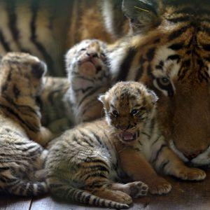 Tigermamma med ungar.