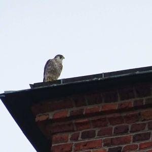Pilgrimsfalk som trivs på taket till Åbo domkyrka