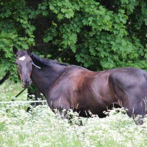 Svart häst betar på äng.