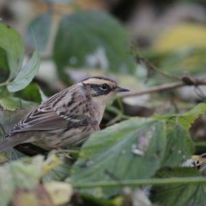 Liten fågel sitter i en buske. Det är en sibirisk järnsparv (prunella montanella).