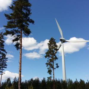 Vindkraftverk i en tallskog.