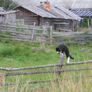 Katt klättrar på staket i Paanajärvi.