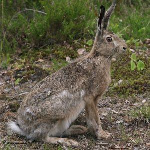 Hare som sitter i skogen.