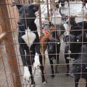 koiria raurakaltereiden takana Romanialaisella koiratarhalla