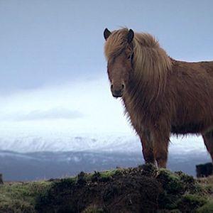 Islanninponi islantilaisessa maisemassa