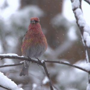 Punaharmaa koiras taviokuurna istuu lumisella oksalla. Sataa lunta.