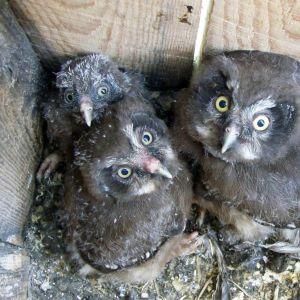 Helmipöllön poikasia.