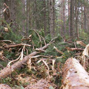 Metsässä tehtyä hakkuuta.