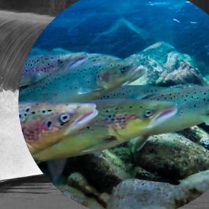 Taustalla mustavalkoisessa kuvassa vesi kuohuu padossa ja keskellä ympyrässä lohia uimassa kivikkoisen joen pohjan tuntumassa.