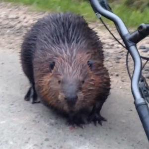 En bäver bredvid en cykel.