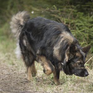 Polishunden cama nosar i skogsterräng