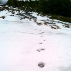 Riko Eklundh undar om detta kan vara lospår? Eller möjligen räv eller mårdhund. Alla tre har observerats i trakten. Bilden är från Sandholm i Nagu ytterskärgård 26.2.