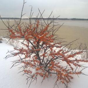 Havtornsbuske med mängder av frusna bär.