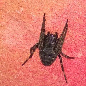 Ros-Maj Aaltonen undrar vad det här är för en spindel som fanns under en stol i växthuset i början på juli. Den är ca. 1-1.5 cm.