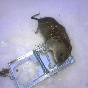 En gnagare som fastnat i musfälla.