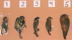Döda fåglar hos Äggmannen