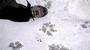 Stort möjligt vargspår i snön.