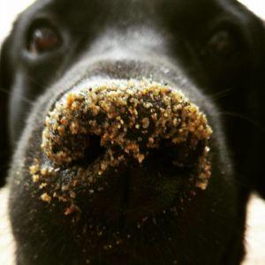 musta labradorinnoutaja kuono hiekassa