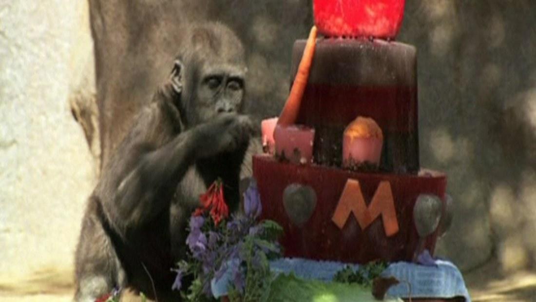 födelsedag se Gorilla firar födelsedag   se video! | Utrikes | svenska.yle.fi födelsedag se