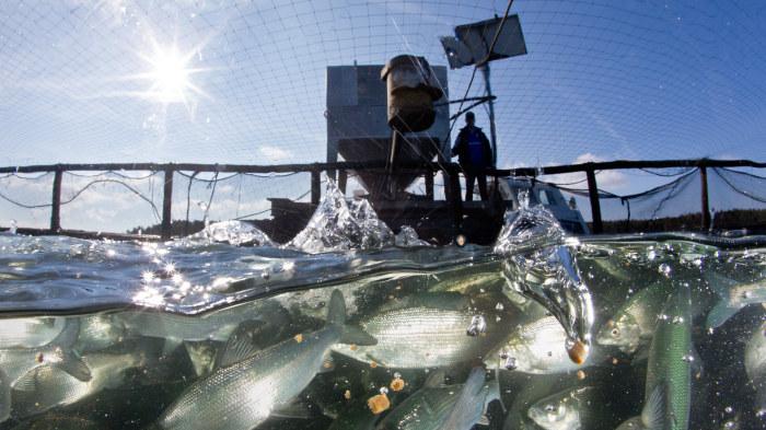 Fiskar i fiskodling.