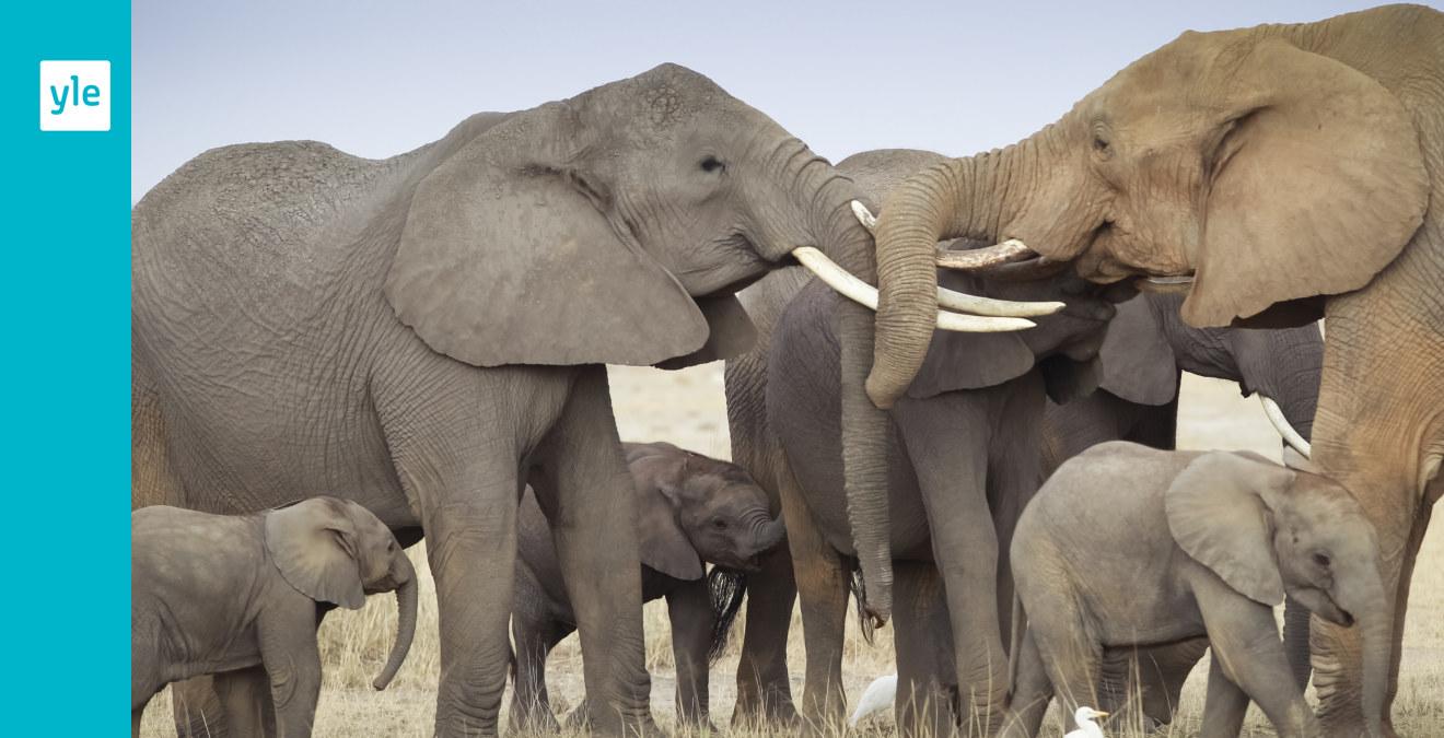 Goda nyheter för elefanterna: Kina förbjuder handel med elfenben   Utrikes   svenska.yle.fi