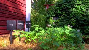 Potatisplantorna gror och mår bra i halmen
