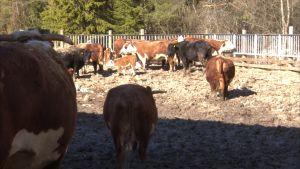 Lehmät ulkoilevat pihattonavetassa Akaalla.