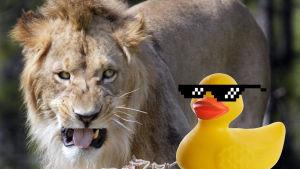 Lejon och gummianka