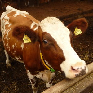 En brunvit kalv till en mjölkko.