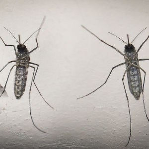 Mygga som kan föra vidare zikaviruset.