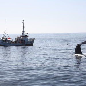 Kaskelotti kalastusaluksen lähellä Norjassa